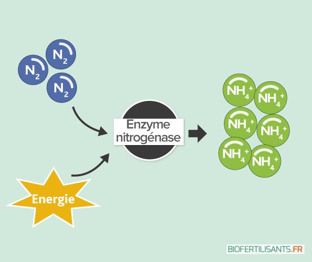 VisuelArticlesZoomBacteries-Nitrogenase